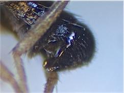 Clusiodes gentilis
