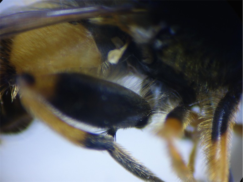 Parphelophilus frutetorum Bosfluweelzweefvlieg(m)