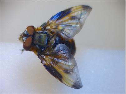Phasia hemiptera Wantssluipvlieg