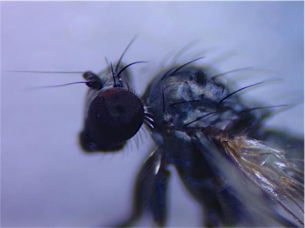Medetera jacula