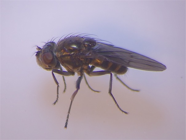 Paracoenia fumosa