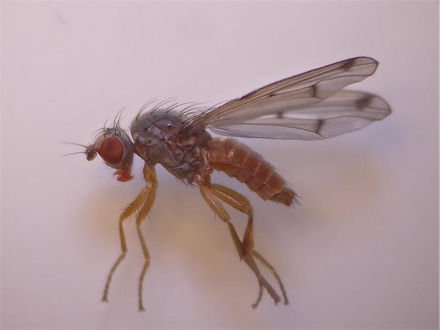 Palloptera scutellata
