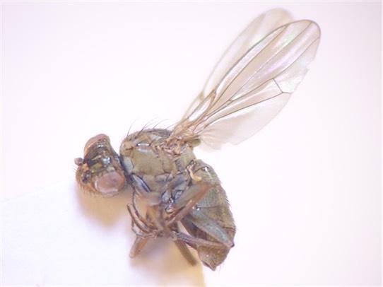 Ephydra riparia