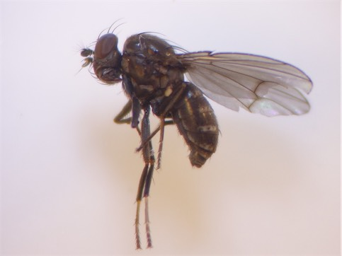 Notiphila caudata(f)