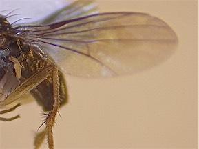 Teuchophorus spinigerellus
