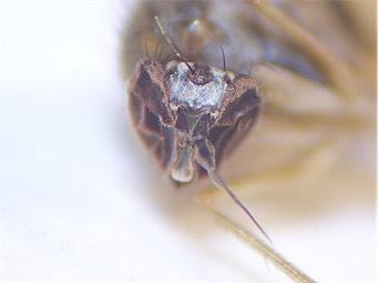 Hypophylus obscurellus