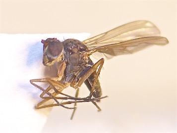 Thinophilus ruficornis