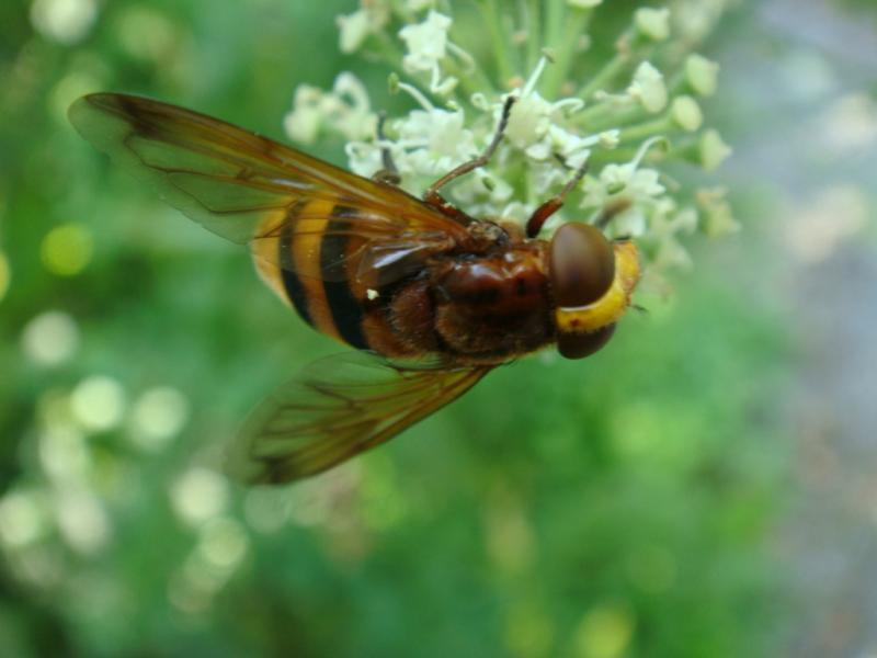 Volucella zonaria Stadsreus(f)