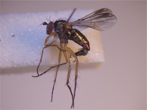 Dolichopus sabinus