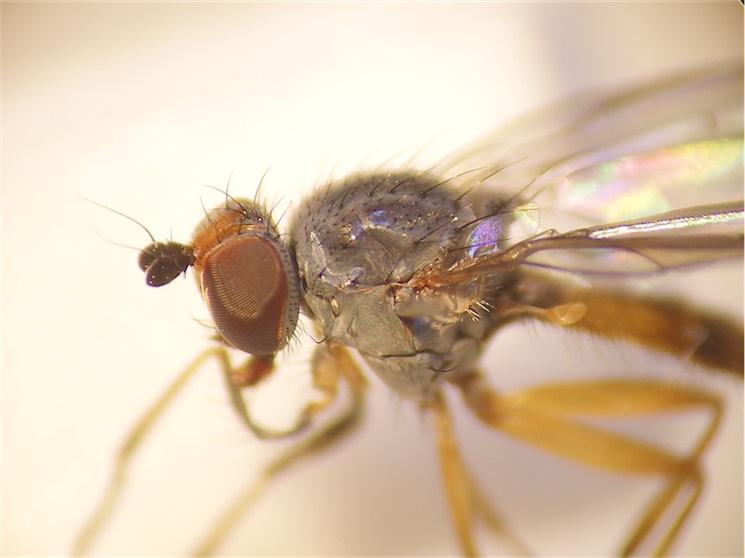 Heteromyza commixta