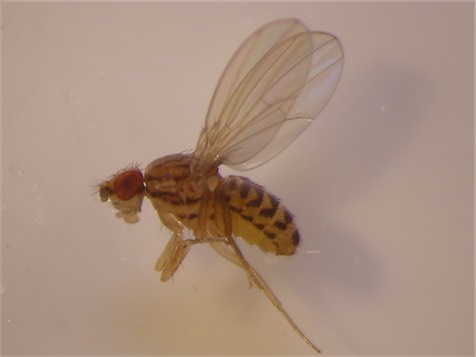 Drosophila buschkii