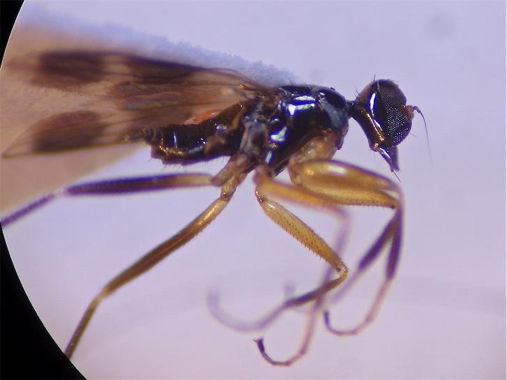 Tachydromia aemula