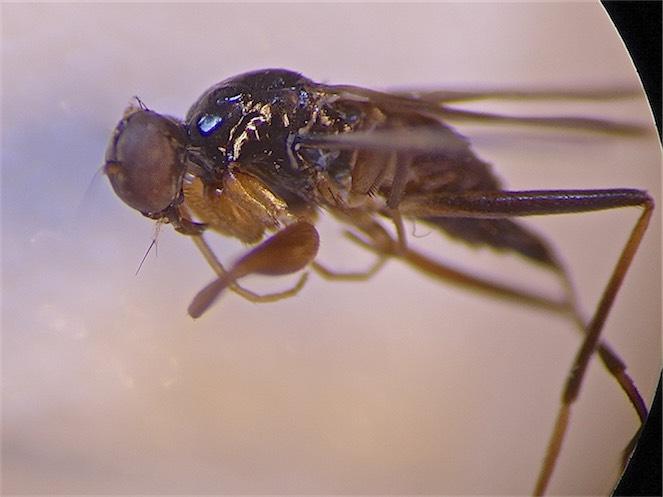 Tachypeza fuscipennis