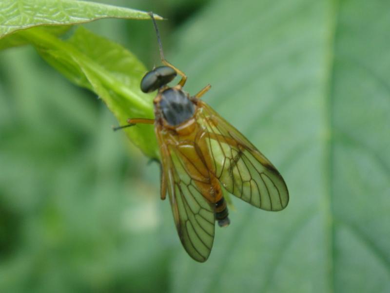 Rhagio immaculatus Ongevlekte Snipvlieg