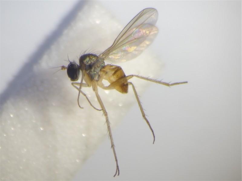Bathycranium bicolorellum
