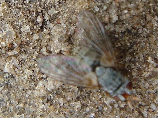 Hebia flavipes