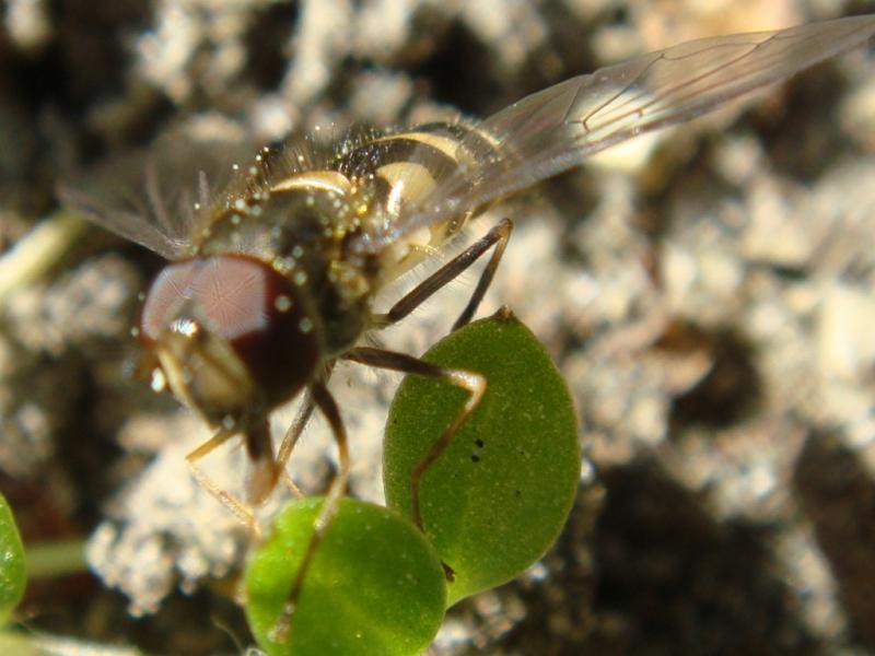 Parasyrphus annulatus Dennenroetneusje(m)