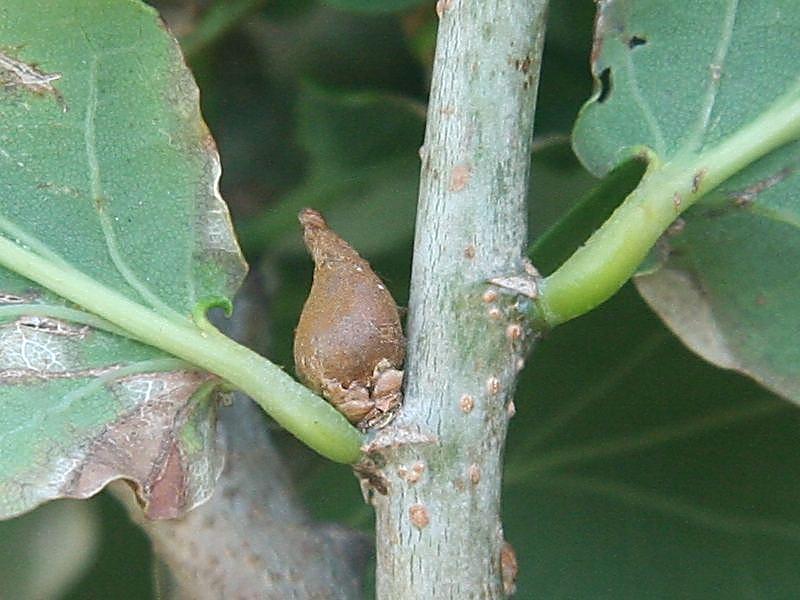 Andricus solitarius (Fonscolombe, 1832) ff