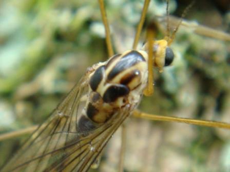 Nephrotoma quadrifaria(f)