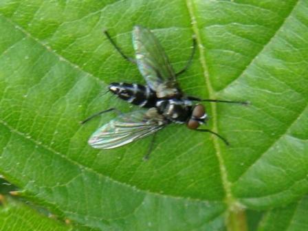 Gastrolepta anthracina(m)