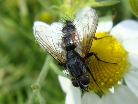 Eriothrix rufomaculata(m)