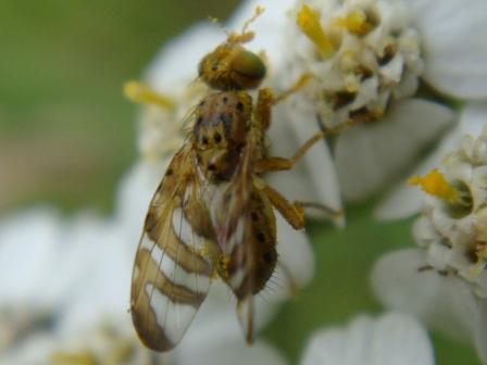 Chaetorellia jaceae