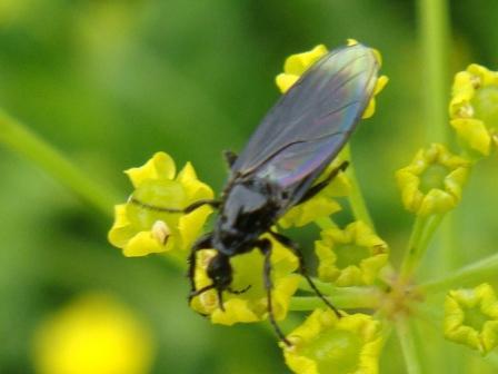 Dilophus febrilis Koortsvlieg