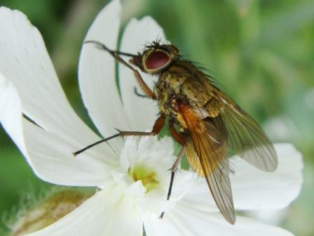 Phaonia angelicae(f)
