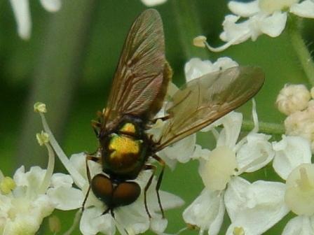 Chloromyia formosa Prachtwapenvlieg(m)