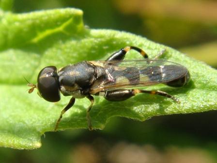 Syritta pipiens Menuetzweefvlieg(m)