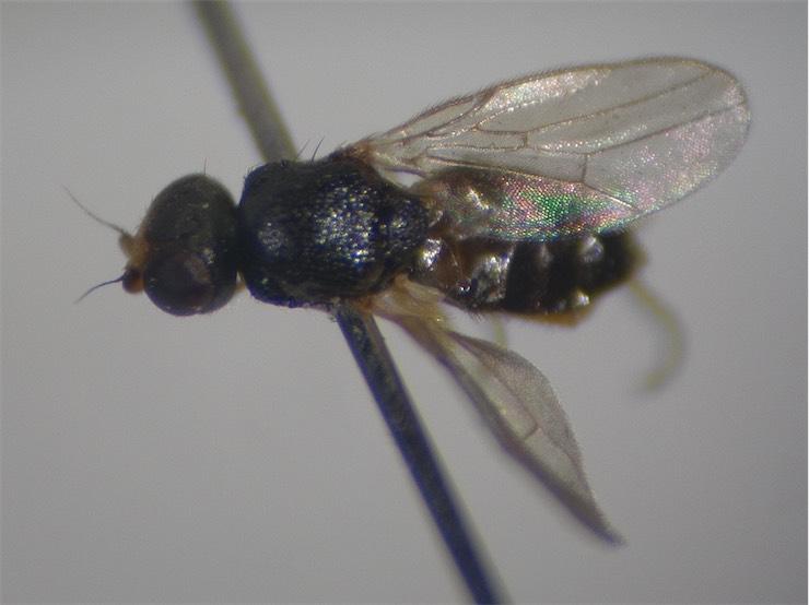 Oscinisoma cognatuma