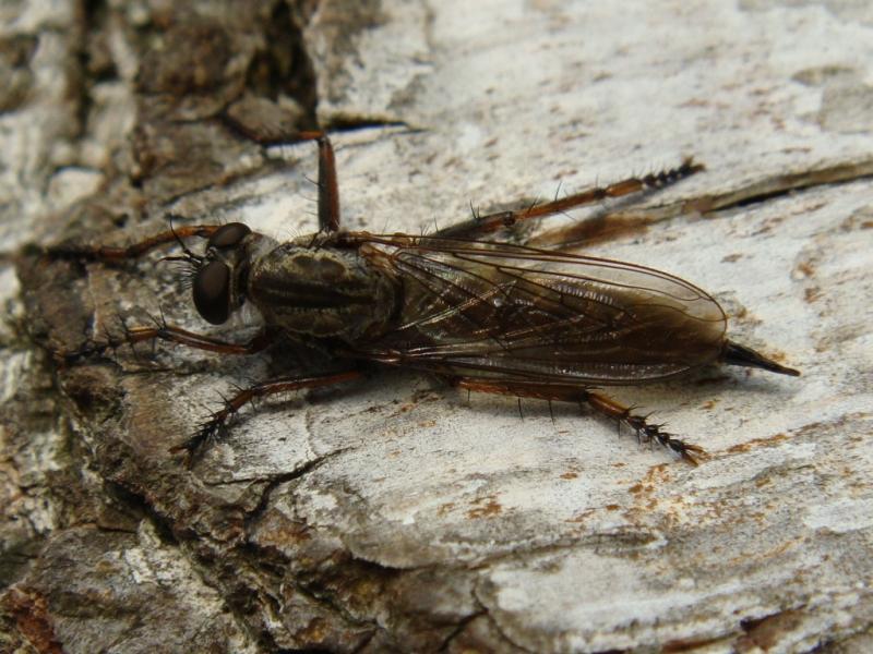 Machimus atricapillus Gewone Roofvlieg
