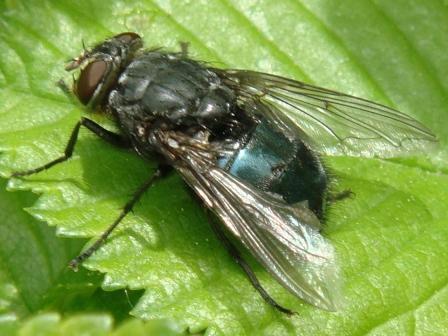 Calliphora vomitoria Roodkaakbromvlieg(f)