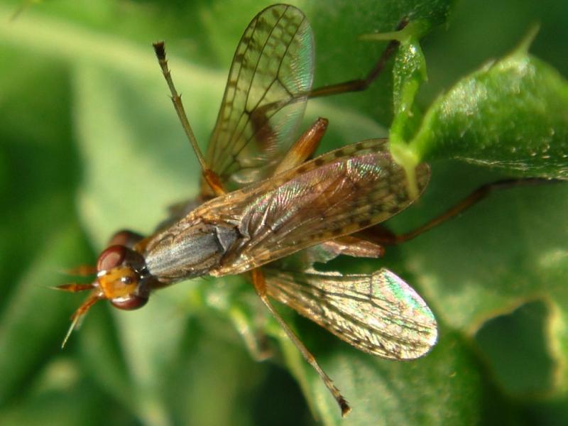 Dichetophora obliterata