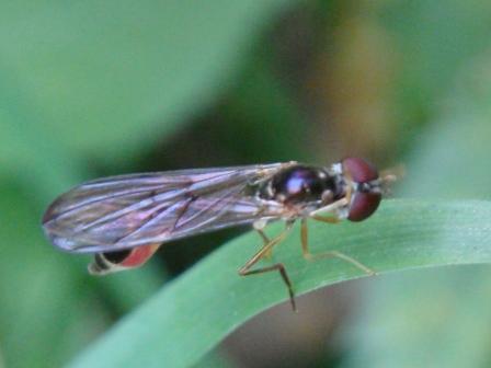 Baccha elongata Vliegende Speld(f)