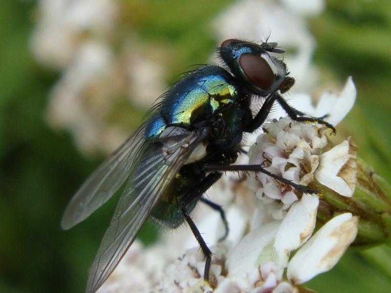 Neomyia cornicina(f)