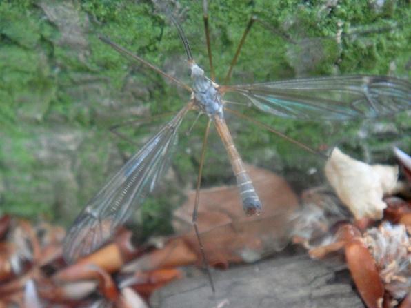 Tipula pseudovariipennis