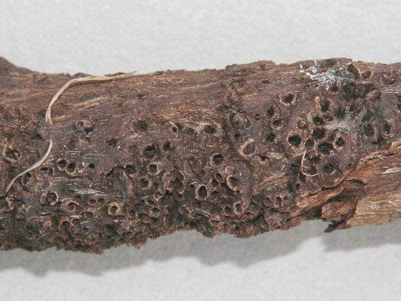 Rabdophaga saliciperda (Dufour, 1841)