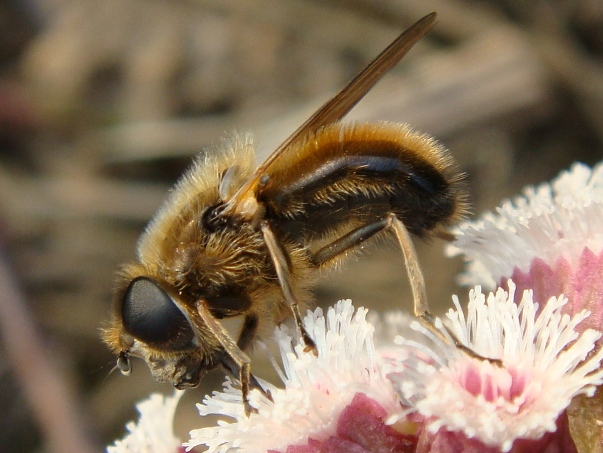Cheilosia grossa Wilgengitje(m)