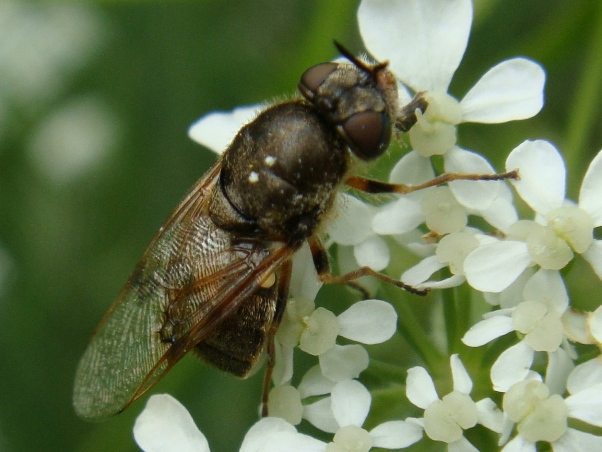 Odontomyia argentata