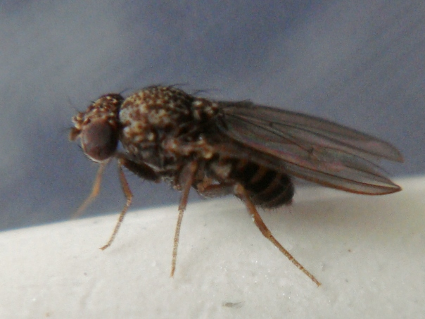 Drosophila repleta
