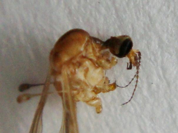 Dicranomyia modesta
