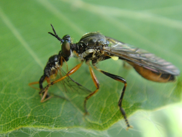 Dioctria hyalipennis Kleine Bladrover(f)