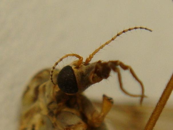 Tipula scripta(m)