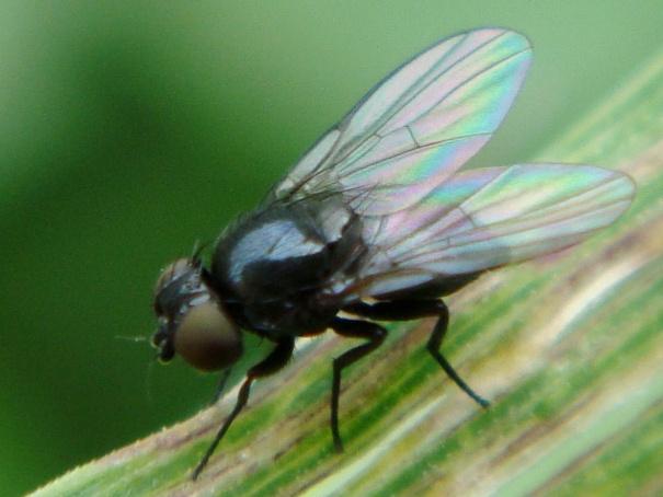 Agromyzidae soort (Mineervlieg vrouwtjes)