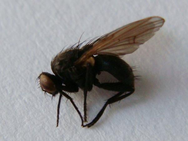Hebecnema nigra