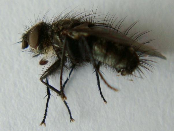 Campylocheta praecox