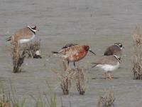 Krombekstrandloper - Calidris ferruginea