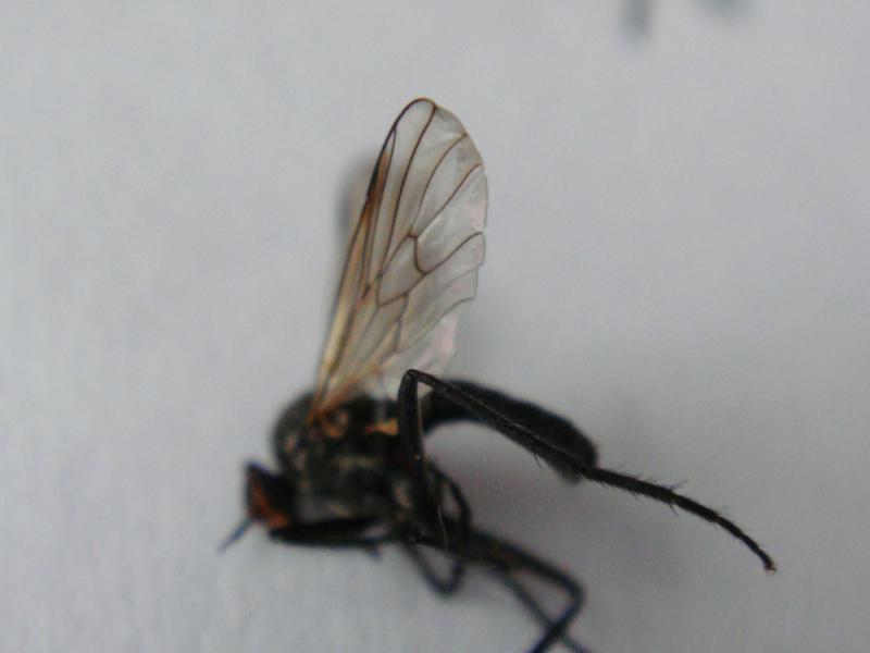 Rhamphomyia laevipes