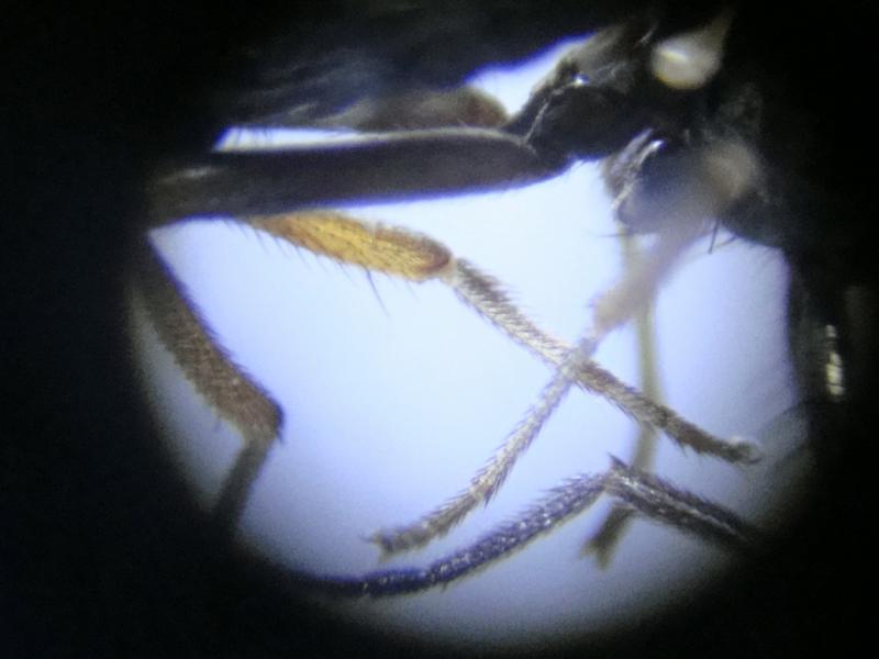 Calliopum similimum